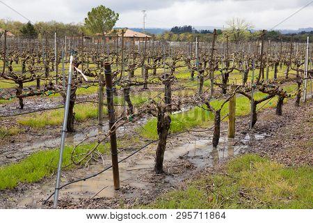 Wet Vineyard After Spring Rain Storms Sonoma California