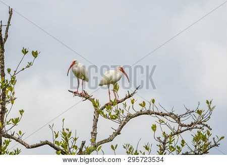 A Pair Of Ibises Perched In A Mangrove Tree In A Florida Wetland.