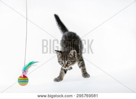 little kitten isolated on white studio shot playing