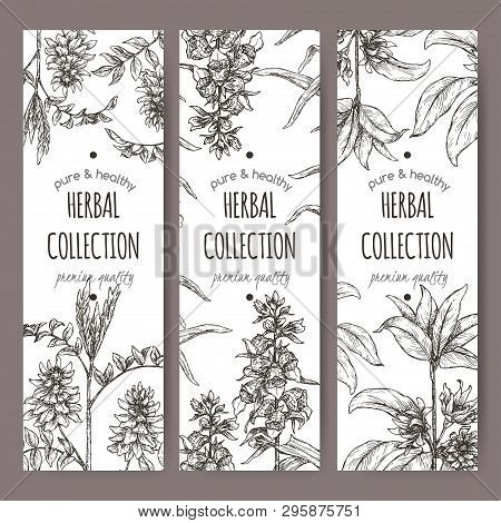 Three Labels With Star Anise Or Badiane, Liquorice And Digitalis Lanata Aka Woolly Foxglove Sketch.