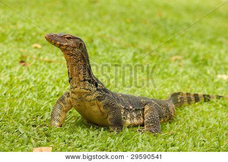 Closeup of monitor lizard - Varanus on green grass (Varanidae)