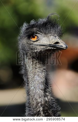 Portrait Of Australian Emu (dromaius Novaehollandiae), View Of An Emu's Neck And Head