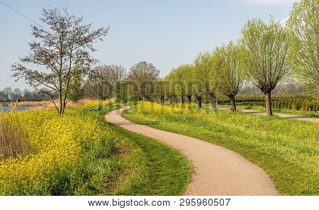 Meandering Path Through A Colorful Spring Landscape In The Netherlands. The Rapeseed Is In Full Bloo