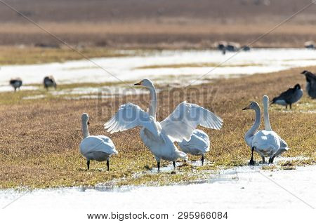 Whooper Swans Standing In Partly Snowy Field.