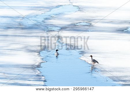 Pair Of Common Merganser On Ice And In Water.