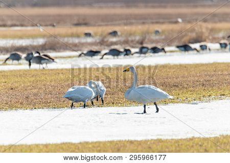 Whooper Swans Eating In Partly Snowy Field.