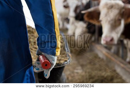 Farmer With Feed For Cows In Wheelbarrow
