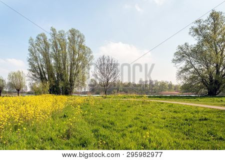 Dutch Park In Springtime. The Wild Growing Rapeseed Is In Full Bloom Now.