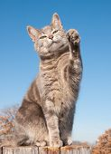 Blue tabby cat with her paw in the air against blue sky poster