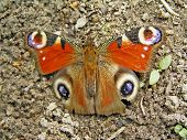 A daily peacock eye belongs to detachment scale-winged or butterflies. Live by groups. More frequent on nettle. poster