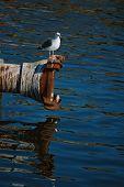 a seagull in santa cruz harbor poster
