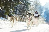 Sled dog racing ? musher dogteam driver and Siberian husky at snow winter competition race in forest poster