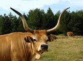 Herd of cows graze in a green grass pasture poster