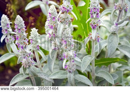 Flowers Of Plant Herb Lambs Ear. Stachys Byzantine Or Stahis Woolly. Selective Focus