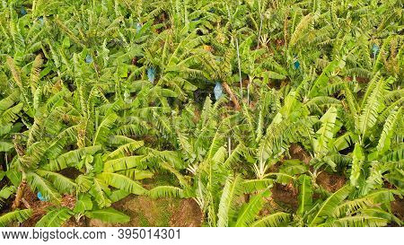 Aerial Drone Of Banana Plantation Showing The Many Large Green Leaves Of Banana Plants. Philippines,