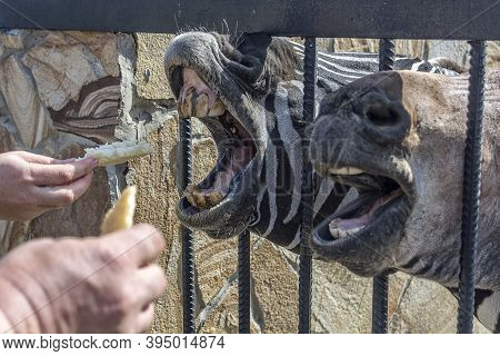 Animals In The Zoo. Animals In A Cage Beg For Food From Visitors.