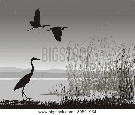 Illustration Herons