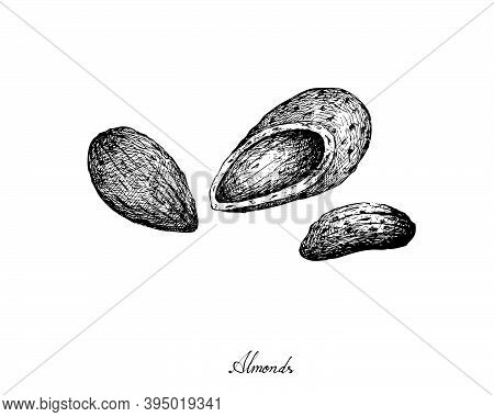 Illustration Hand Drawn Sketch Of Almonds Isolated On White Background, Good Source Of Dietary Fiber
