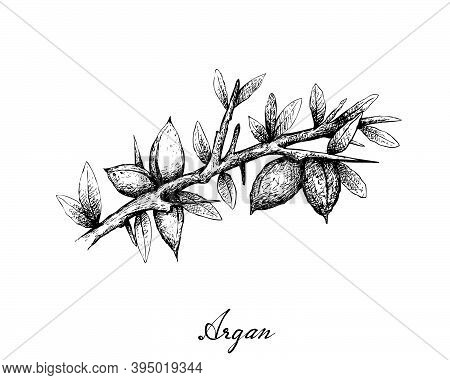 Illustration Hand Drawn Sketch Of Argan Or Argania Spinosa Seeds On A Tree, Used For Cosmetic Purpos