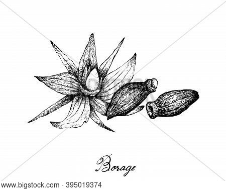 Illustration Hand Drawn Sketch Of Borage Seeds And Flowers. The Highest Amounts Of Y-linolenic Acid