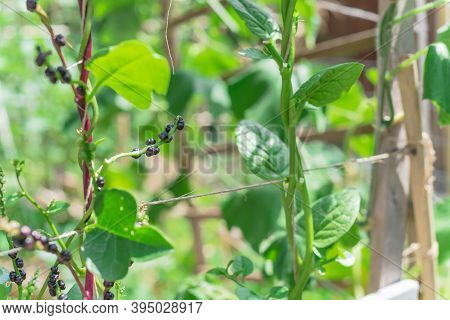 Organic Malabar Spinach Seeds And Flowers Vine On Trellis At Homegrown Garden In Texas, Usa