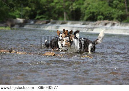 Three Dogs In Water, Welsh Corgi Cardigan