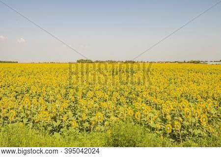A Field Sown With Sunflowers. Harvest. Autumn Period.