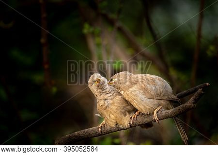 Funny Wildlife Image Of Angry Jungle Babbler Birds Perched On Branch At Keoladeo National Park Or Bh