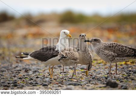 Seagull With Cubs Asking For Food. Gull In Wild Nature. Gull With Young Gulls. Photo From Wild Germa