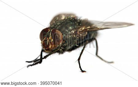 Fly With Red Eyes, Closeup Of Fly Isolatet On The White Background