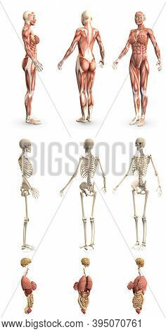 9 In 1, Female Body With Skeleton And Internal Organs - Physiology Concept For Medicine - Cg Detaile