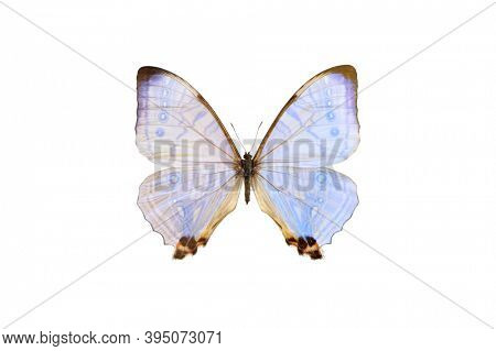Pearl Morpho sulkowski lympharis, light blue butterfly isolated with clipping path on white background