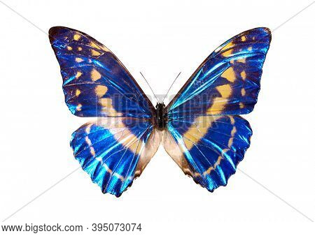Morpho cypris - Common name Blue Morpho - French name Papillon Morpho Blue butterfly Isolated with clipping path on white background