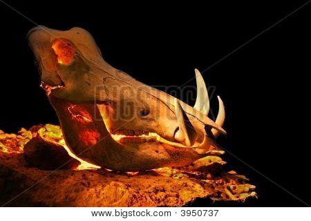 Warthog Skull Lit From Inside