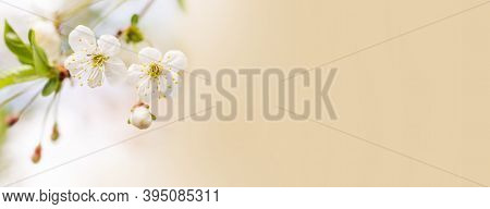 Fresh Tender Springtime Garden Landscape Background. Blossoming White Petals Yellow Stamens Fruit Tr