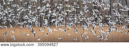 Black-headed Gulls Flying Over The Dry Field In Winter