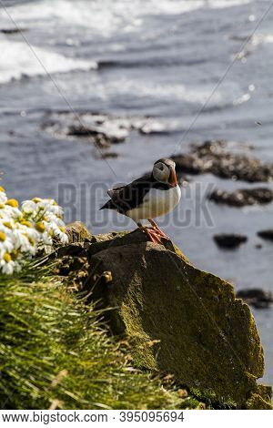 Puffins In Látrabjarg