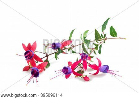 Fuchsia Flowers  Isolated On A White Background