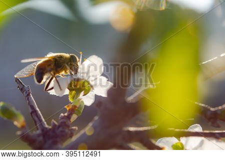A Bee On A Cherry Blossom Branch Collects Nectar. Sunny Spring Day. Pollination Of Flowers In The Ga