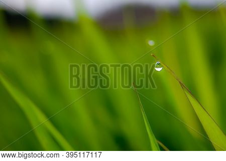 Drops Of Water On Leaves Of Grass. Dew On The Green Grass.