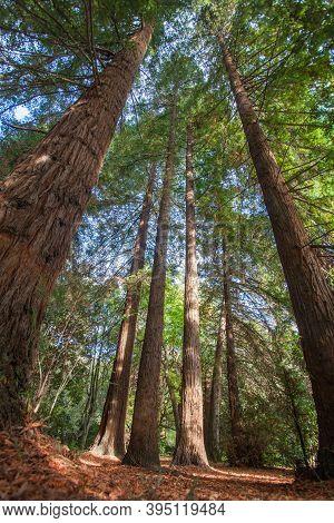 Sequoias In The Southern Cultures Arboretum. Sochi, Krasnodar Territory, Russia