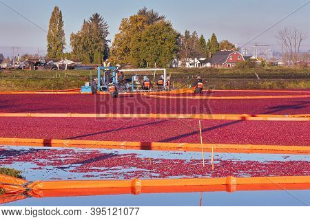 Richmond, British Columbia, Canada - October 26, 2017. Farm Workers Harvest Cranberries. Cranberries