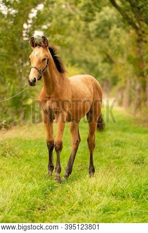 Portrait Of Buckskin Foal, The Horse With Halter Stands In The Forest. Autumn Sun