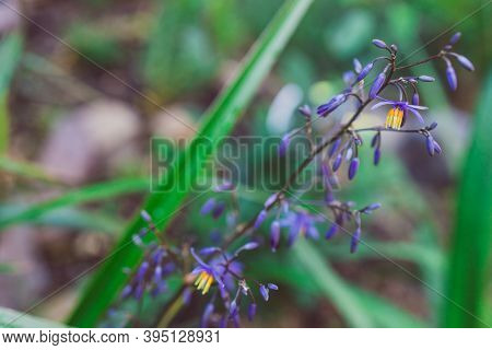 Native Australian Dianella Grass With Flowers Plant Outdoor In A Sunny Backyard