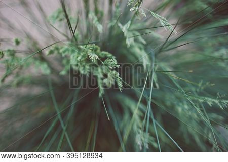 Close-up Of Poa Poiformis Grass Plant With Seeds Outdoor In Sunny Backyard