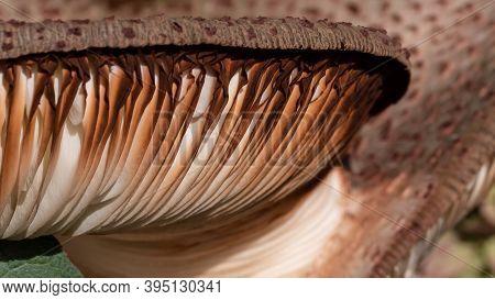 Nature Abstract: Close Look At Gills Of A Parasol Mushroom