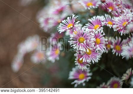 White-pink Chrysanthemums On A Blurry Background Close-up. Beautiful Bright Chrysanthemums Bloom In