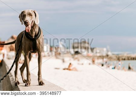 Dog out for a walk by the beach