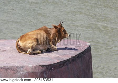 Resting Cow By The Ganges River, Rishikesh, India. Closeup