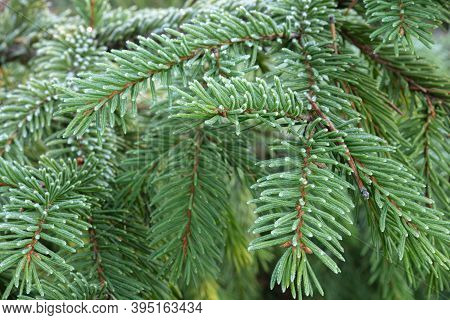Rime On A Spruce Branch, Close-up. High Quality Photo